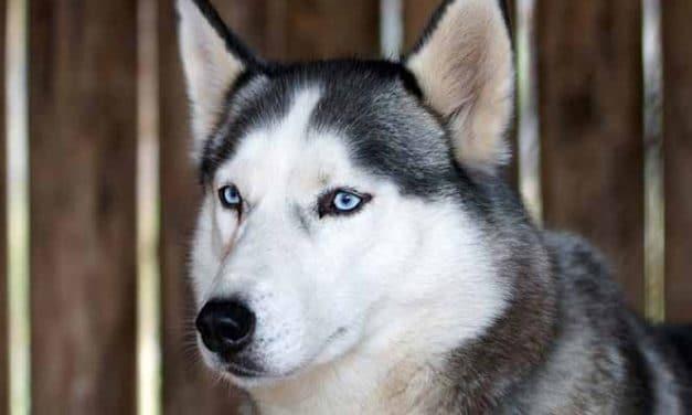 Hunderasse Husky: Sibirischer Husky Welpen Kaufen