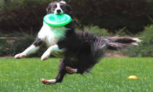 Hundefrisbee: Frisbee spielen mit Hund