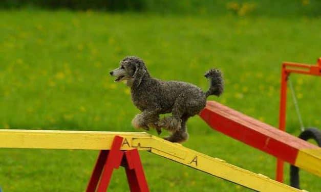 Hundesport Agility: Sport & Spaß für Ihren Hund